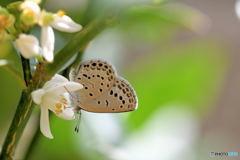アゲハ蝶のためのキンカン