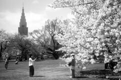 御苑の桜6