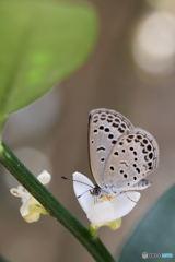 花に集まるシジミチョウ