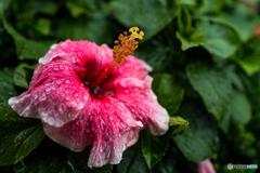 雨の日の花壇8