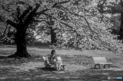 御苑の桜5