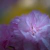 小樽中央小公園の八重桜