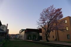 旧手宮線跡地の桜