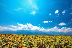 晴天の向日葵