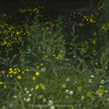 ホタルと綿毛と白詰草
