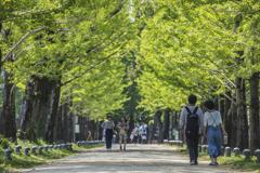 いちょう並木(新緑の季節)