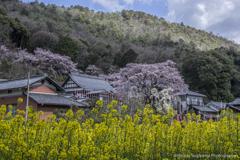 菜の花畑と枝垂桜