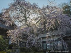勝泉寺のしだれ桜