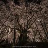 林陽寺の枝垂れ桜