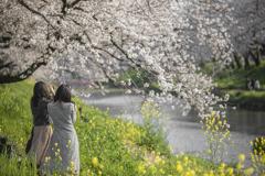 桜の名所(新境川の百十郎桜)