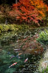 紅葉の極楽浄土