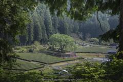 新茶の季節に(水戸野の桜樹)