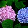紫陽花のカップル*