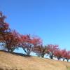 桜紅葉並木