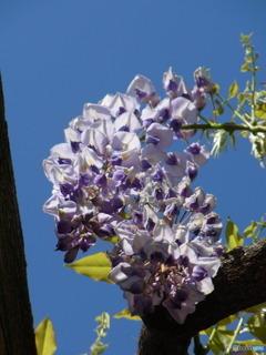 陽を受けて  満開になる 藤の花