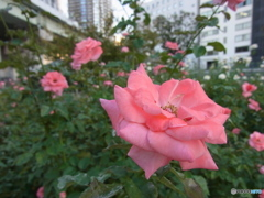 中之島のバラ