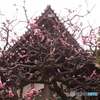 梅と太融寺