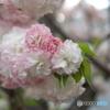 桜と玉ボケ