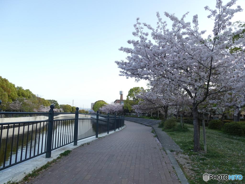 朝散歩 桜並木を 満喫す
