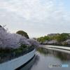 蓬川 桜並木を 惜しむ朝