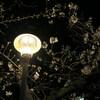 公園の電灯と夜桜