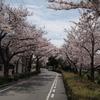 蓬川緑地の桜並木
