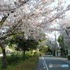 蓬川緑地の桜トンネル