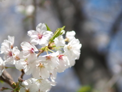 武庫川河川敷の桜