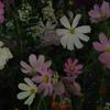 noisy flowers