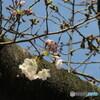 櫻井神社の桜