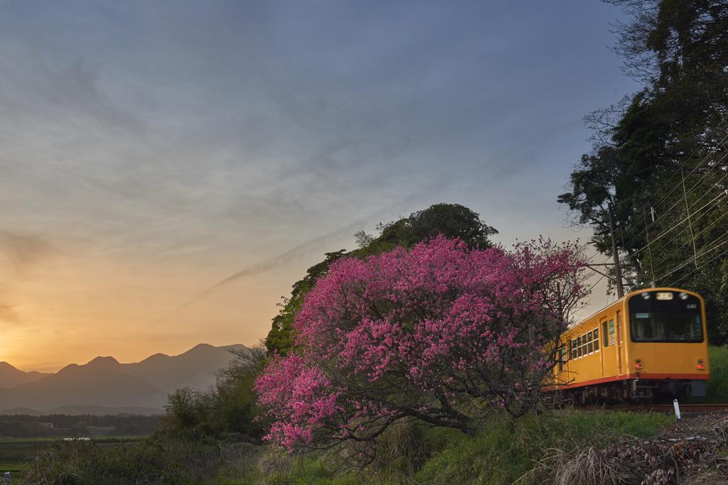 Amygdalus persica and Railway...Twilight
