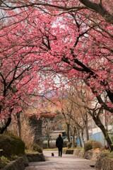 いよいよ桜が・・