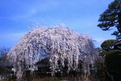 本満寺の糸桜