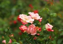 雨上がりの秋バラ