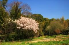 田舎の一本桜
