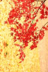 紅葉しぐれ