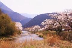 大原高野川桜堤①