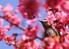 桜フレーム in ヒヨ
