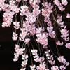 枝垂れ桜降る