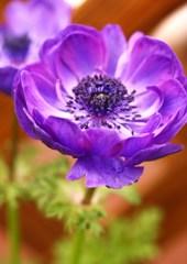 春の花◇アネモネ◇