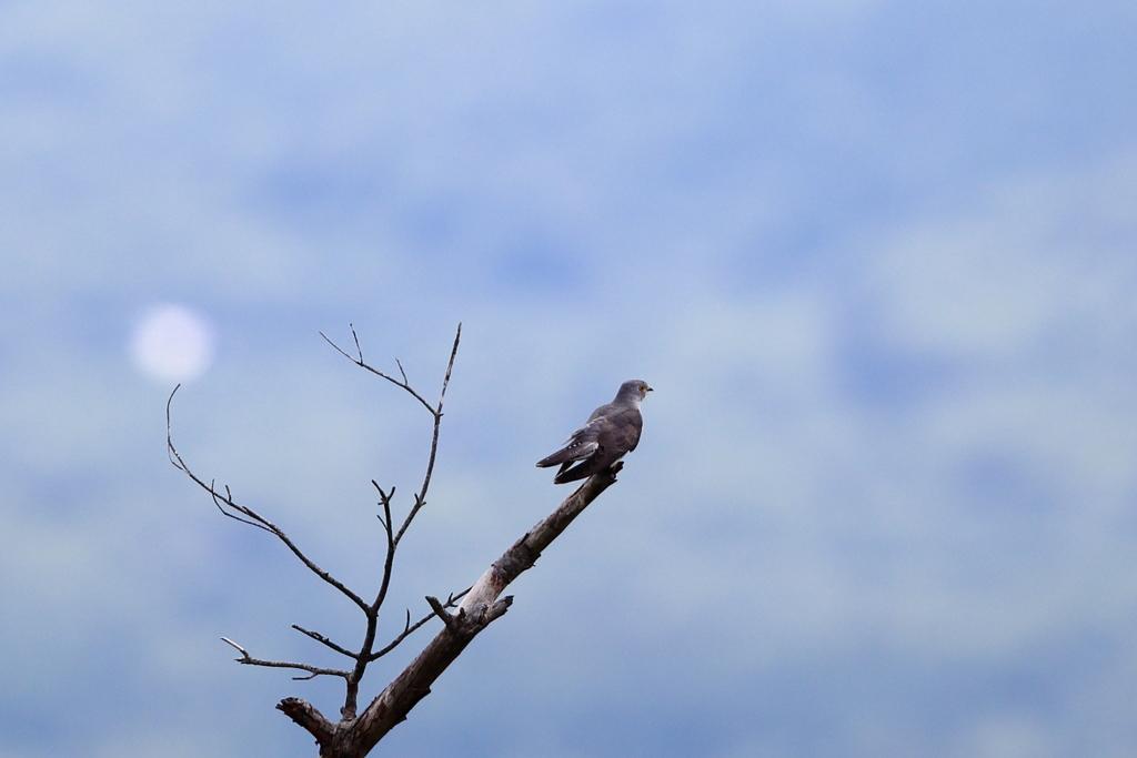 孤高のカッコウ