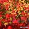 緑葉燃ゆる 紅葉