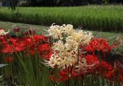 ヒガンバナ(紅白)