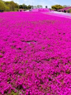 市貝市の芝桜