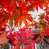 大山阿夫利 神社の紅葉