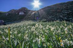 水仙咲く丘