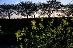 桜並木シルエット