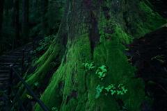 鎮守の森の巨大杉 13