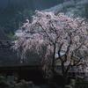 茅葺屋根と枝垂れ桜