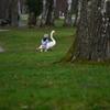 白鳥の災難